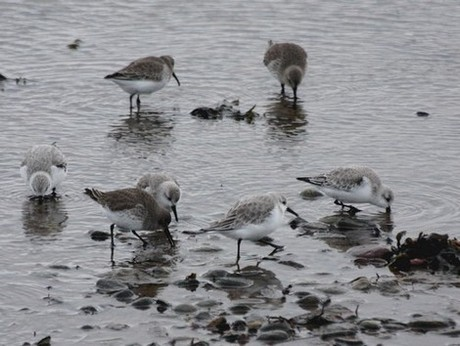 sanderling et variable